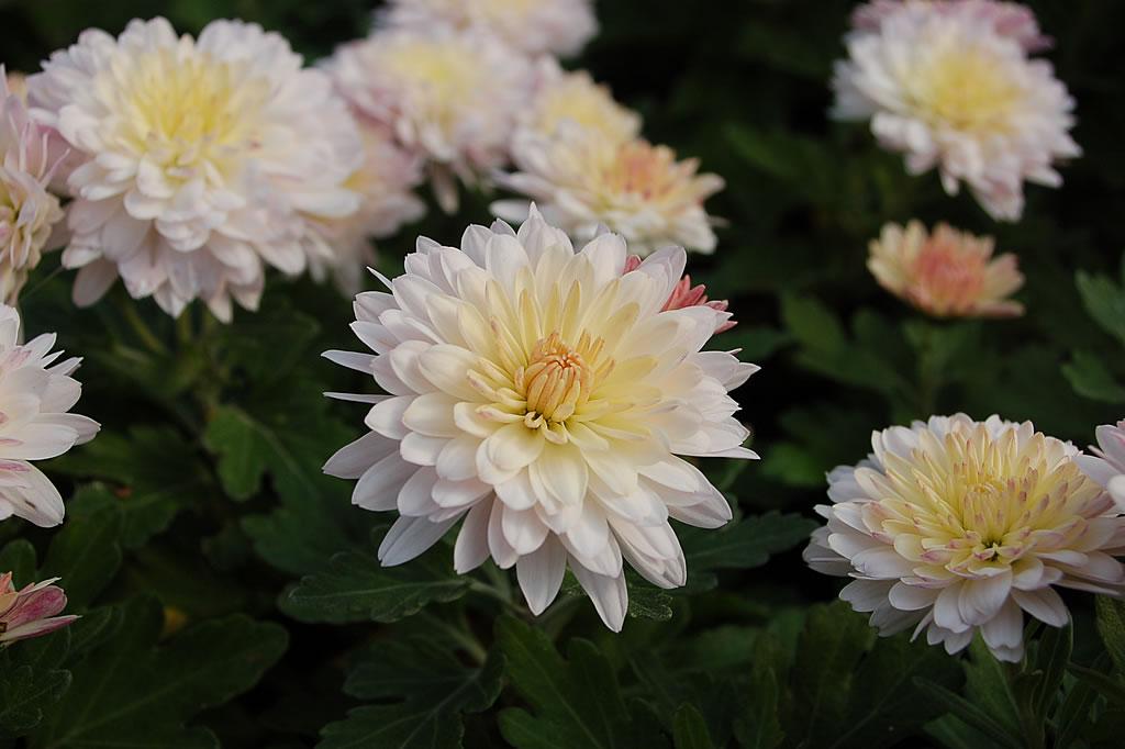 Lux_Staudenkulturen_Chrysanthemum_x_hortorum